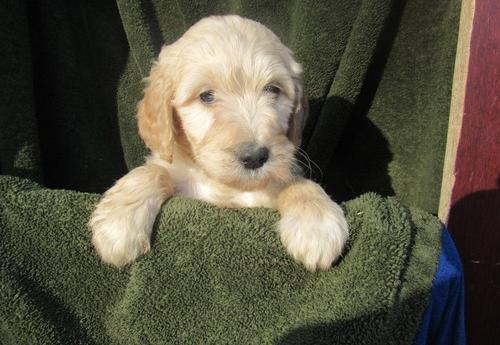 Goldendoodle Puppy For Sale Adoption Rescue For Sale In