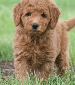 Goldendoodle Puppy For Sale Adoption Rescue For Sale In Siloam
