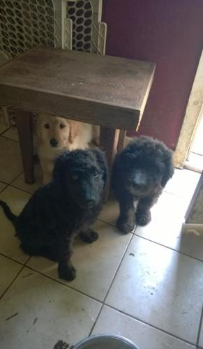Goldendoodle Puppy for Sale - Adoption, Rescue for Sale in Hillsboro