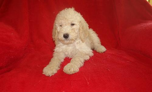 Goldendoodle Puppy For Sale Adoption Rescue For Sale In Woodbury