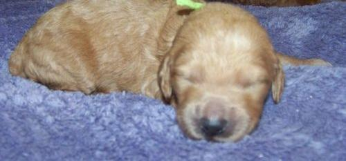 Goldendoodle Puppy for Sale - Adoption, Rescue