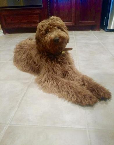 Goldendoodle Puppy for Sale - Adoption, Rescue for Sale in