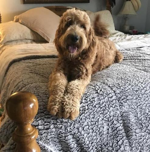 Goldendoodle Pets And Animals For Sale In The Usa Puppy