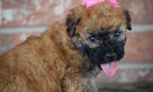 Rescue Goldendoodles For Adoption Texas