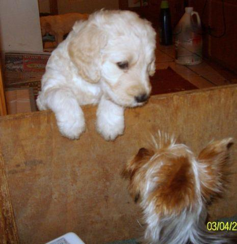 Goldendoodle pups