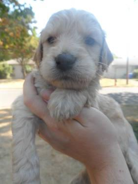 Goldendoodle Puppies on Goldendoodle Puppies Ready End Of September For Sale In Happy Valley