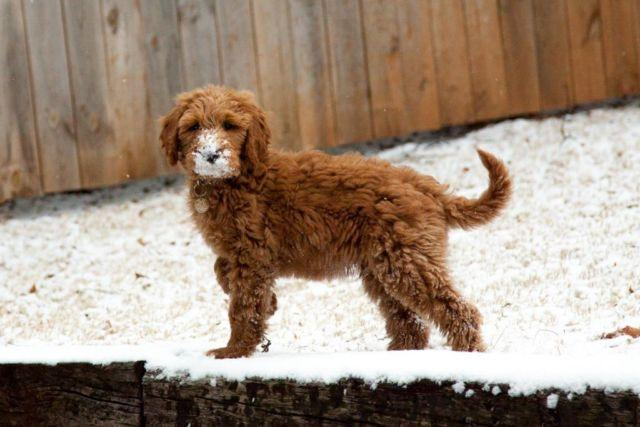 Goldendoodle For Sale In Tennessee Classifieds Buy And Sell In