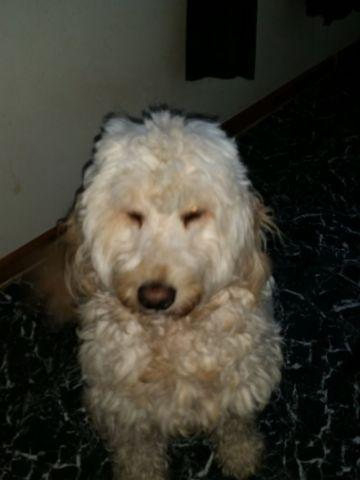 Goldendoodles Pets And Animals For Sale In New York Puppy