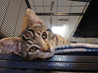Gopher- Medina Petsmart Domestic Shorthair Kitten Male