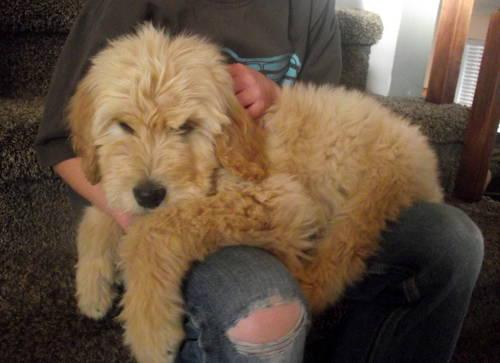Gorgeous 10 Week Old Goldendoodle Puppy Crate Trained