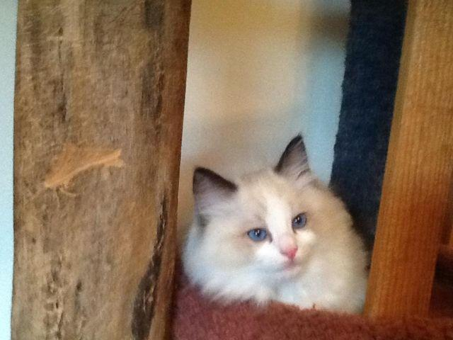 Gorgeous 10 week old seal bicolor ragdoll Male Mom and