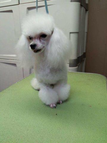 Toy Poodle Female Pets And Animals For Sale In Austin Texas