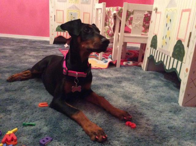Gorgeous AKC Doberman Puppy