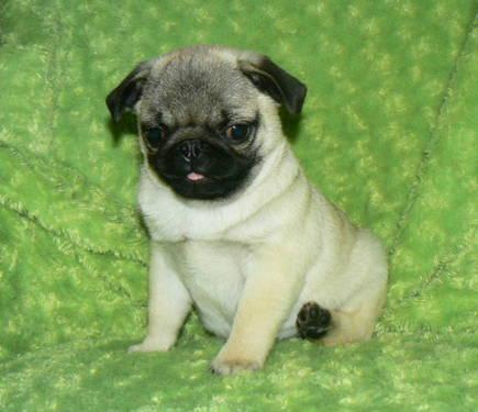 Pug Puppy Pets And Animals For In The Usa Kitten Clifieds Page 8 Kittens Puppies Americanlisted