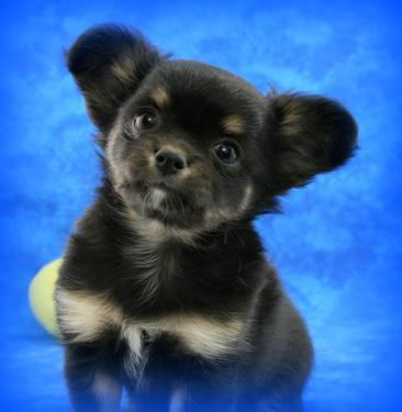 gorgeous akc female chihuahua puppy for sale in reno nevada