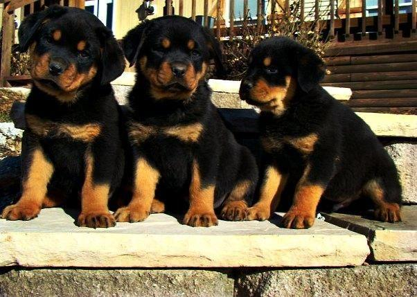 Gorgeous Akc German Rottweiler Puppies Males Females Available
