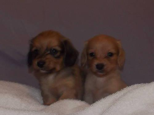 Gorgeous AKC Longhaired Miniature Dachshund Puppies For