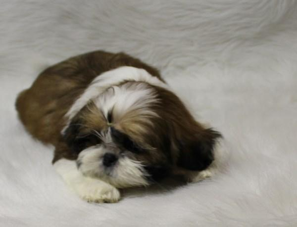 Pets And Animals For Sale In Johannesburg Michigan Puppy And