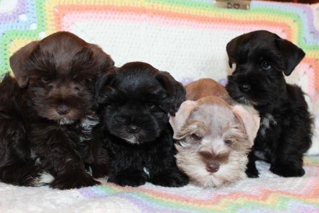 AKC Registered Miniature Schnauzer Puppy for Sale in