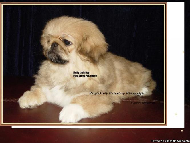 Gorgeous Akc Pure Pekingese Puppies In