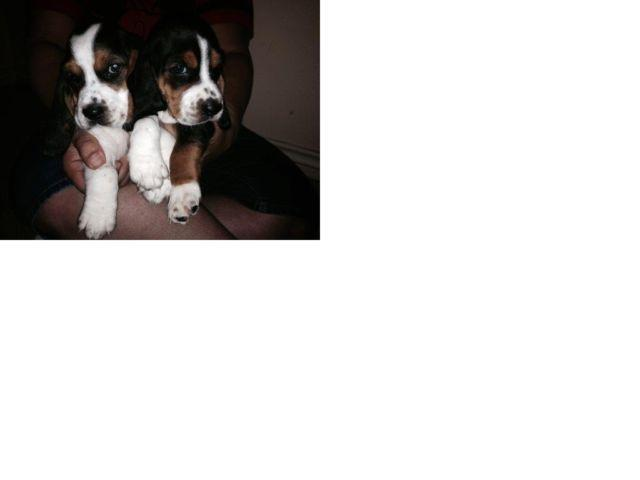 Gorgeous basset hound puppies for Sale in San Antonio, Texas