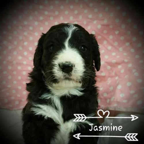 Gorgeous Bernedoodles Ready To Go 5 30 For Sale In Alma