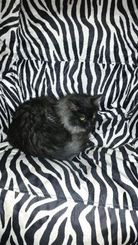 Gorgeous Black Smoke Persian Maine Coon Mix Male Kitten For