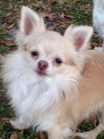 Gorgeous Chihuahua Boy available for consideration to