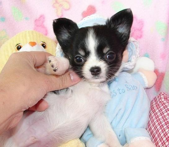 Gorgeous chihuahua puppies available! for Sale in Corona, California