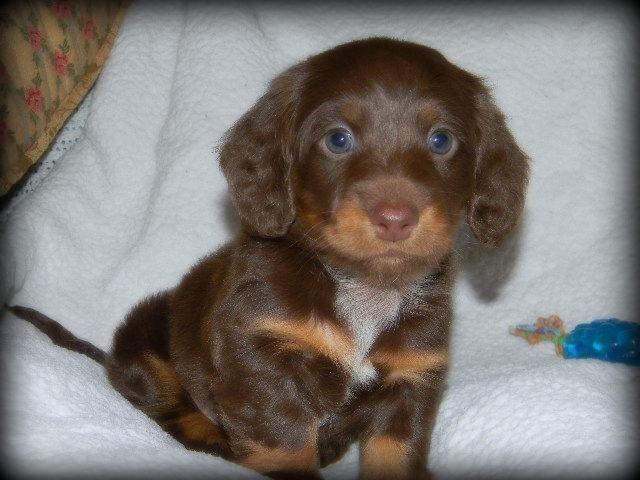 Gorgeous Chocolatetan Longhair Akc Miniature Dachshund Puppy For