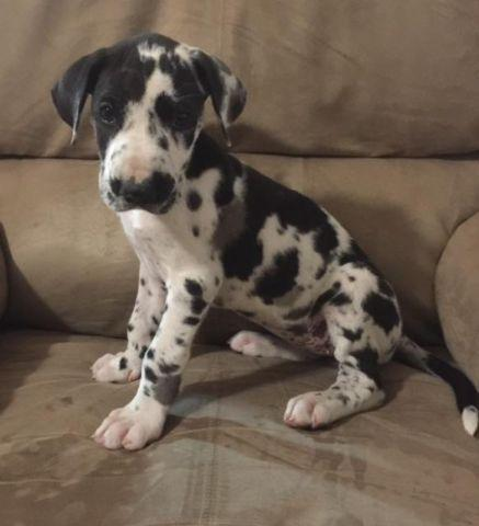 spotted great dane puppy