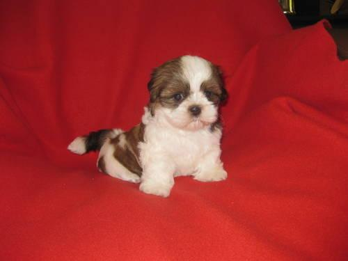 shih tzu puppies 8 weeks gorgeous ckc imperial shih tzu puppy male 8 weeks 4524