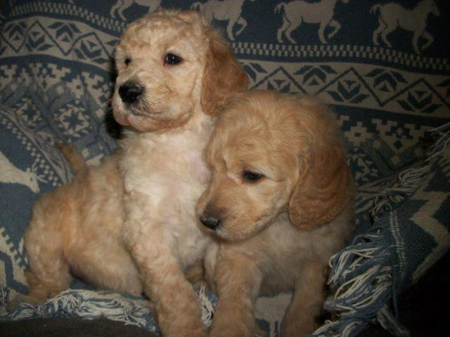 Gorgeous F1B Goldendoodle Puppies! Ready 1/24/15