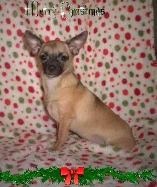**GORGEOUS FAWN/BLK SABLE CHI**