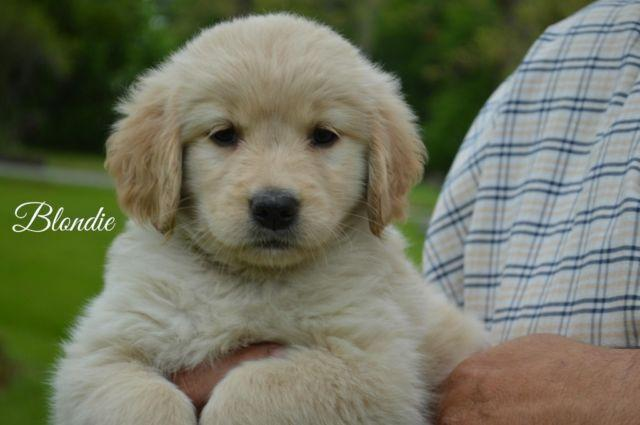 Gorgeous Golden Retriever Puppies For Sale In Mercer Pennsylvania