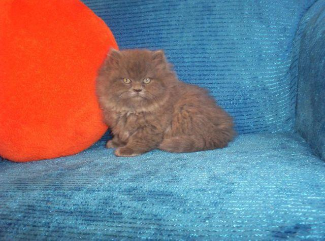 ~GORGEOUS GORGEOUS BLUE CFA PERSIAN KITTEN FOR SALE~