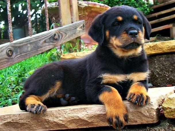 GORGEOUS GROUP OF GERMAN ROTTWEILER PUPPIES   LOOK!!!