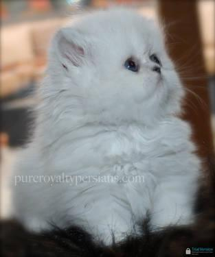 Persian kittens for sale in cleveland ohio