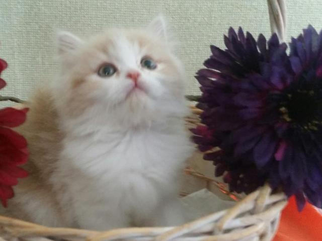 Gorgeous Himalayan - Persian Kittens