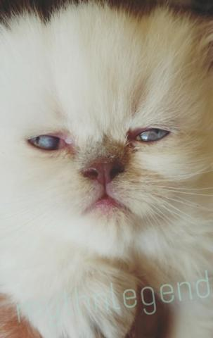 Gorgeous Himalayan,Persian Kittens for sale@3months