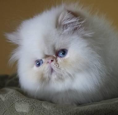 Himalayan Cats Nashville Tennessee