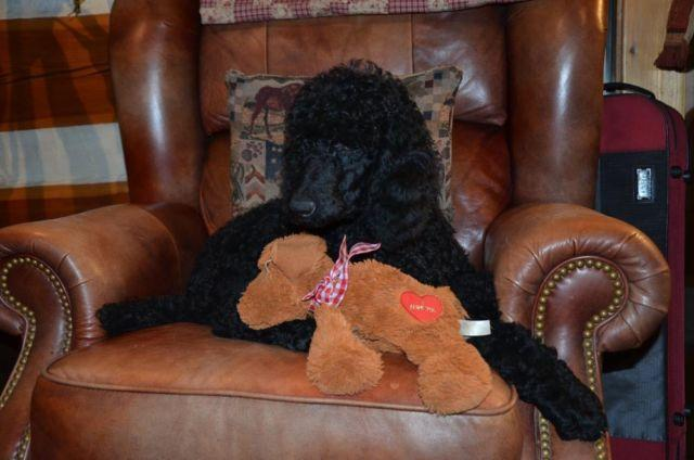 Gorgeous large black standard poodle