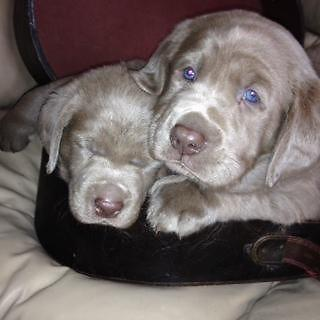 Gorgeous Litter Of Silver Chocolate Lab Puppies For Sale In