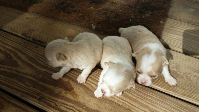Gorgeous Long Coat Chihuahua Puppies For Sale