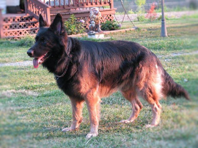 German Shepherd Puppy Pets And Animals