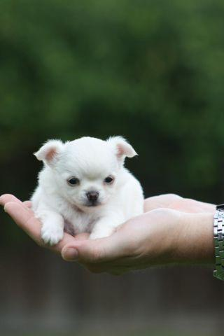 GORGEOUS LONGCOAT AKC CHIHUAHUA PUPPIES AVAILABLE FOR