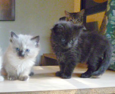 Gorgeous Maine Coon Birman Hybrid Kittens For Sale In Ontario California Classified