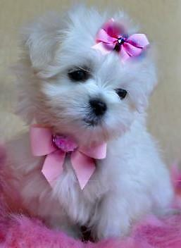 **GORGEOUS *** MALTIPOO PUPPIES !!!