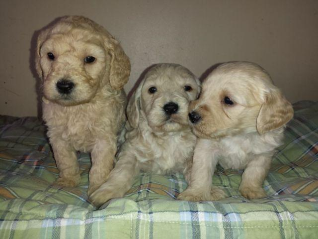 Gorgeous Mini Goldendoodle Puppies for sale in Concord, Michigan