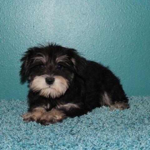 Gorgeous Mini Schnauzer Puppies for sale in Eden Valley, Minnesota
